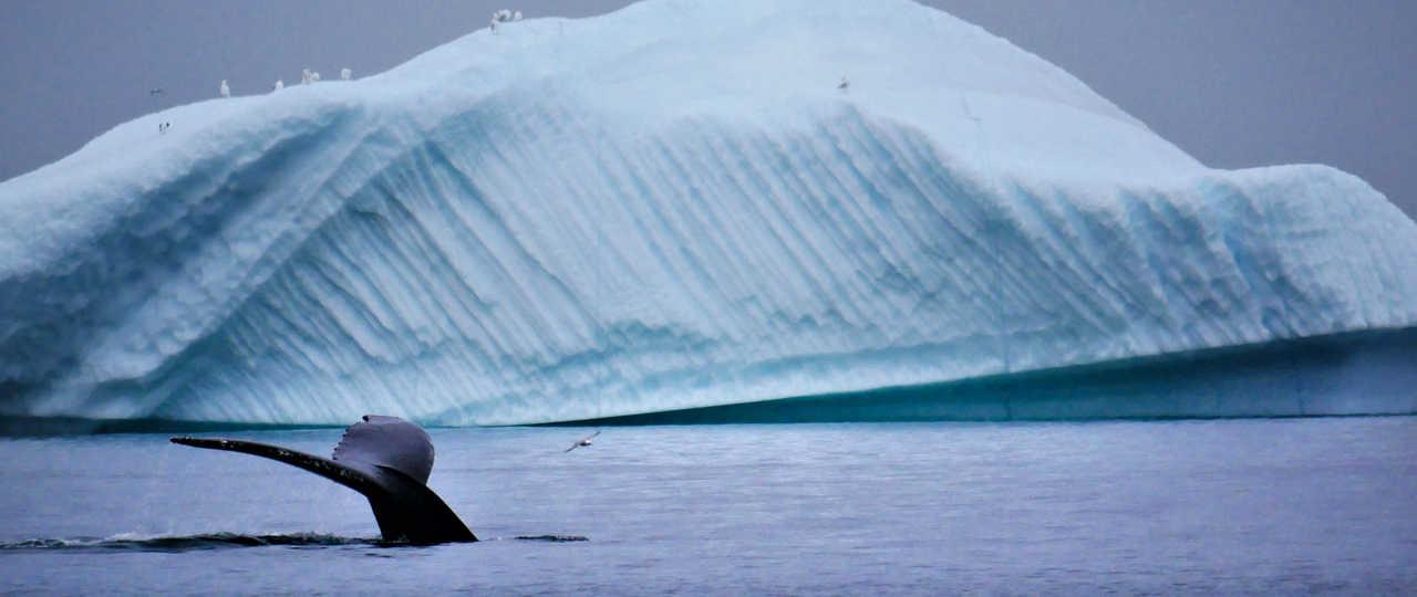 Baleine à bosse qui sonde au Groenland