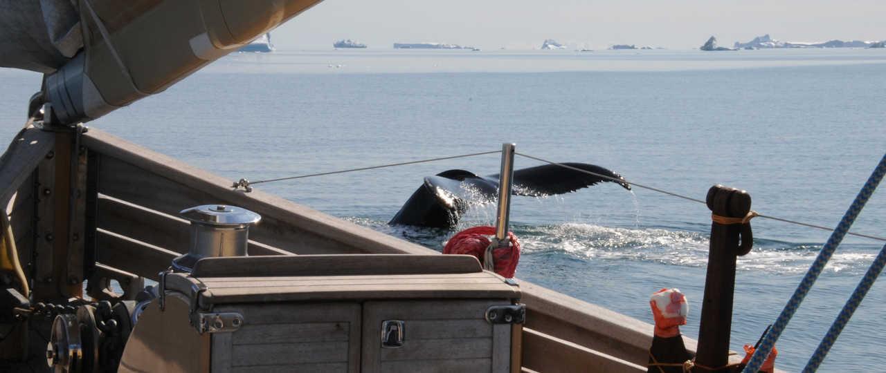 Photo d'une baleine depuis le voilier la Louise
