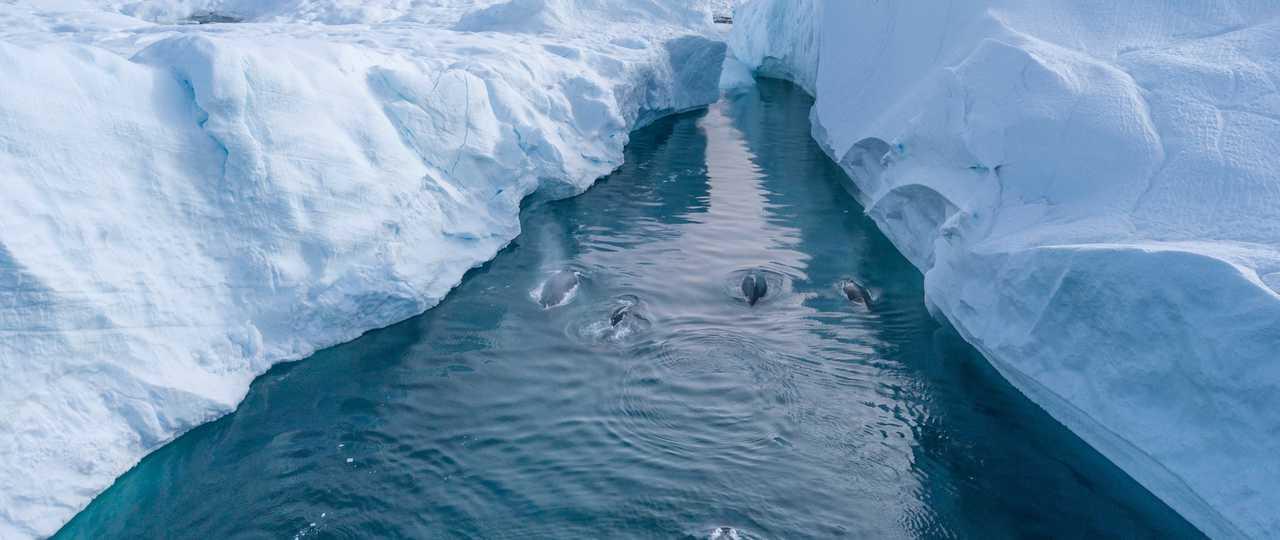 Baleines au Groenland