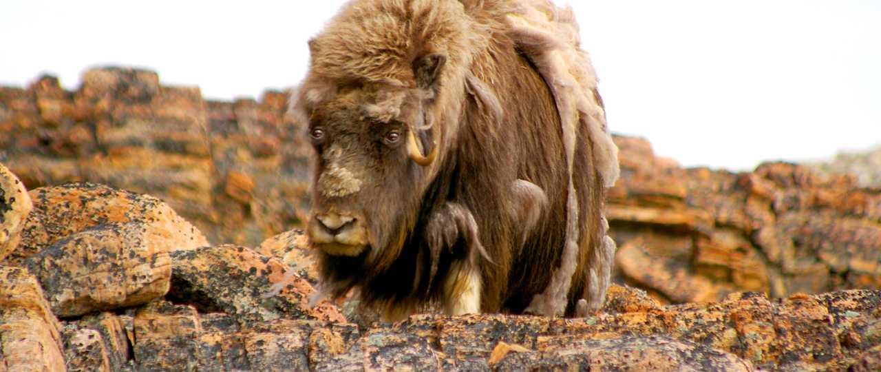 Photo d'un bœuf musqué au Groenland