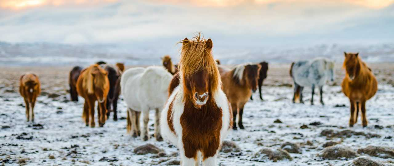 Photo de chevaux Islandais