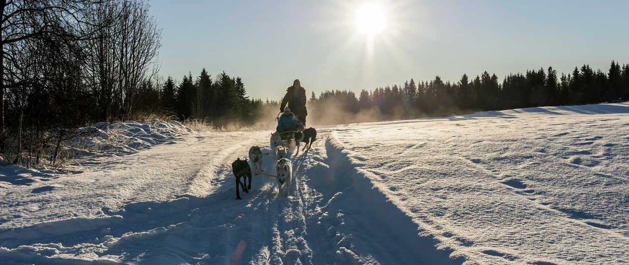 Chien de traineau en Norvège