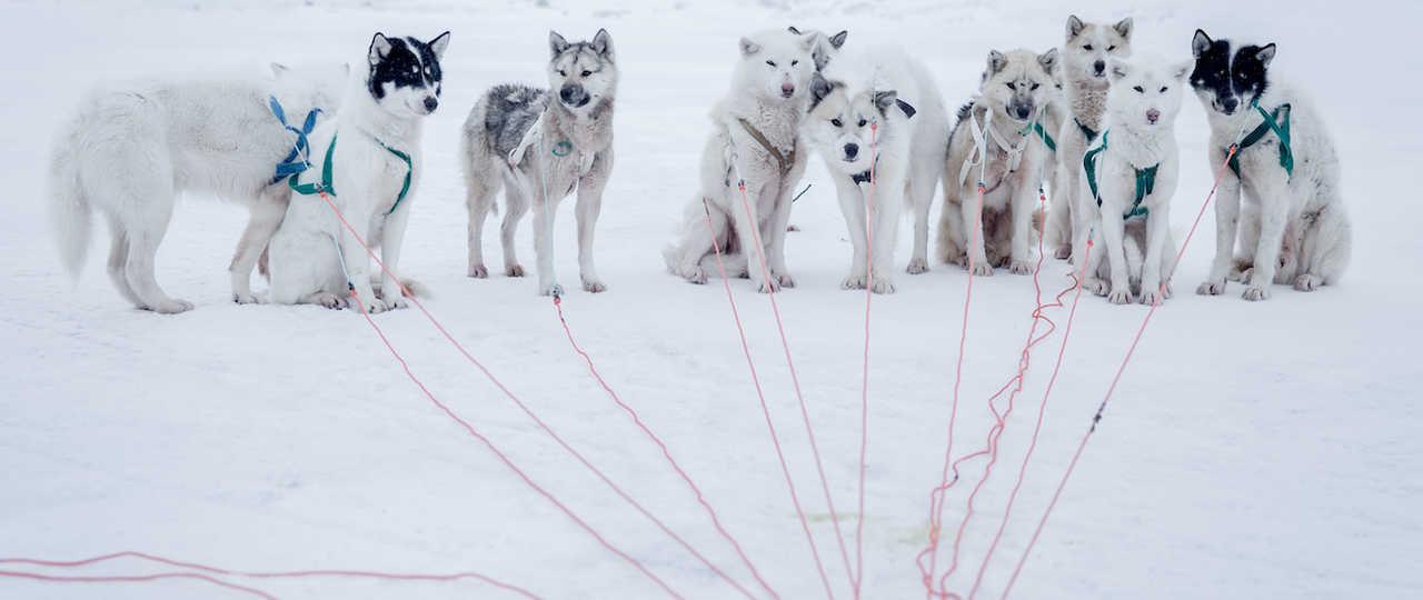 Chiens de traineaux, huskies, Baie de Disko Groenland