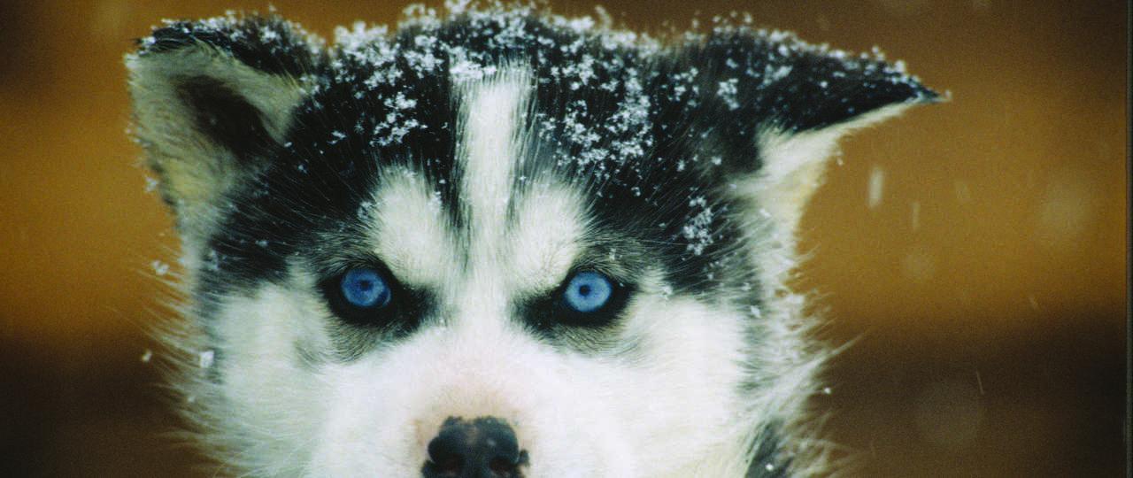 Chiot husky au Canada