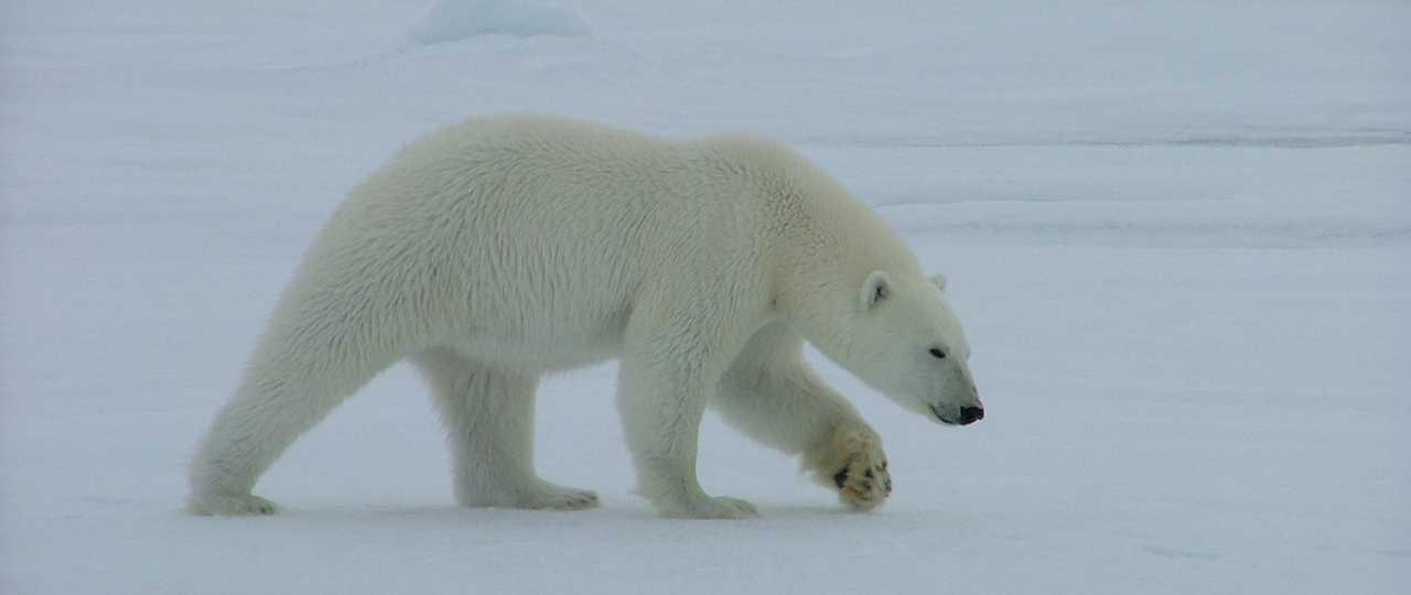 Photo d'un ours polaire Spitzberg
