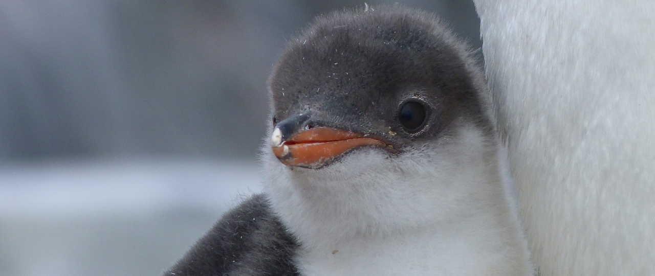 Photo d'un manchot lors d'une croisière polaire en antarctique