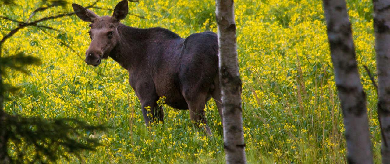 Elan sauvage en Suède