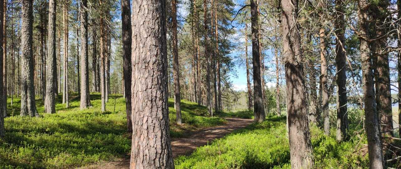 Forêt de pins en Finlande
