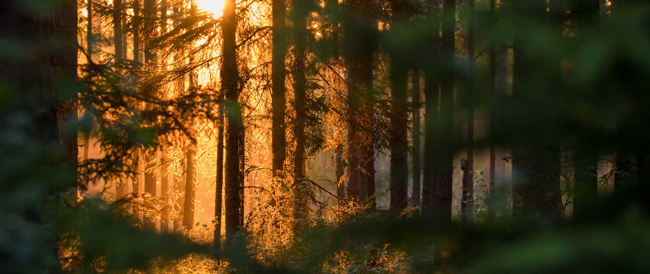 Forêt de Suède l'été