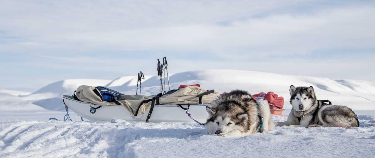 Husky, chien de traîneau au Svalbard