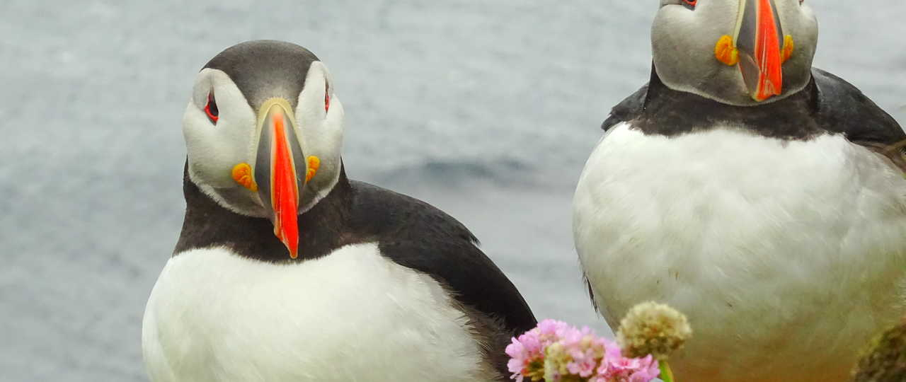 Photo d'un couple de macareux en Islande
