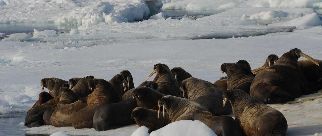 morses lors d'une croisière polaire au Spitzberg