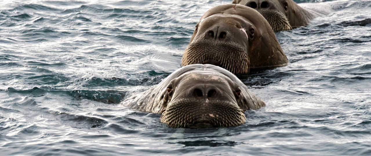 Morses au Svalbard