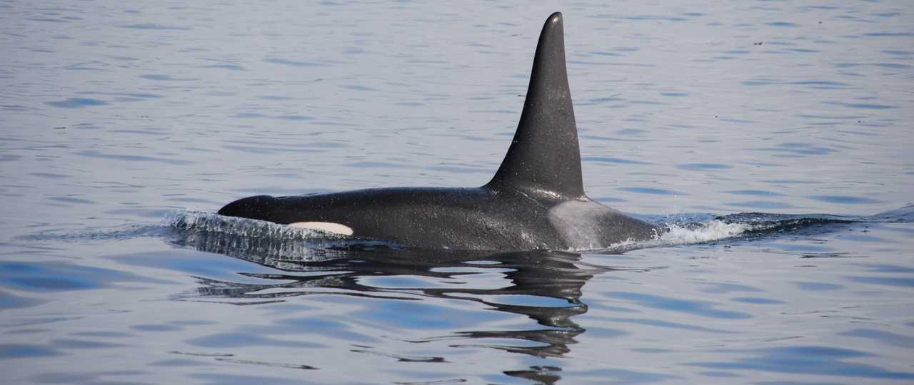 Observation d'orques en Islande