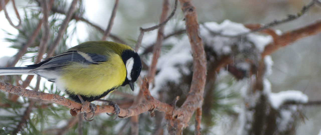 Oiseau au cœur de la nature en Laponie suédoise