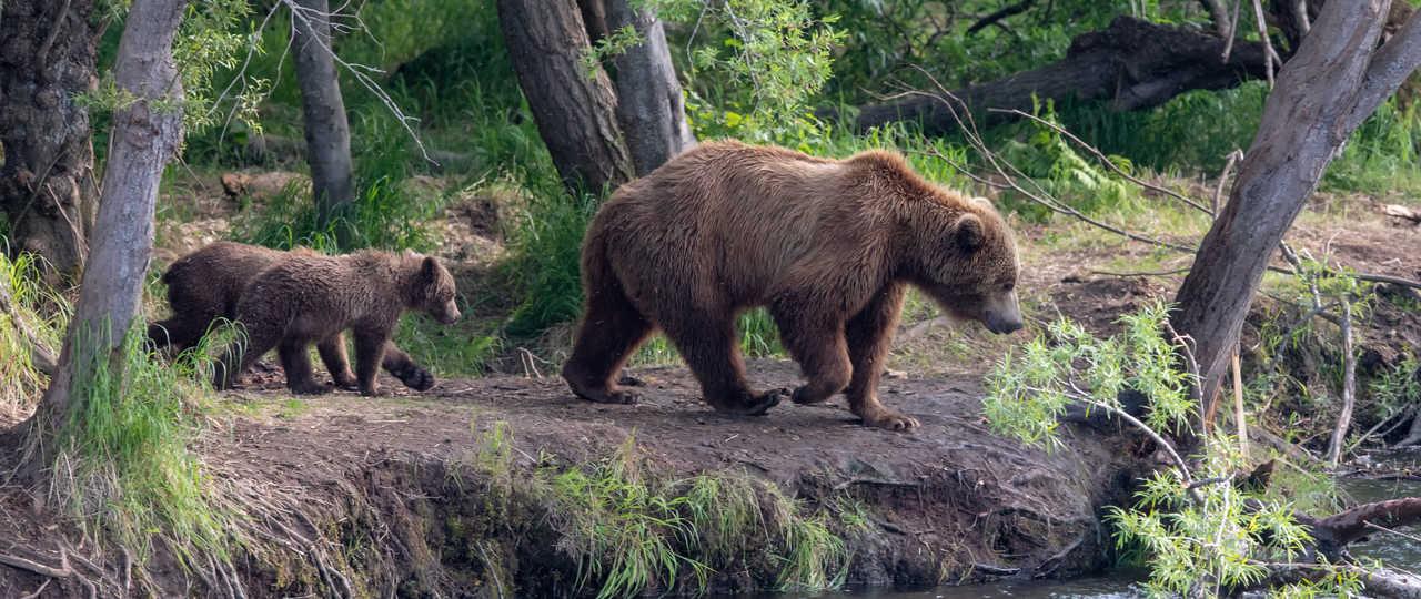 Ours bruns en Russie au Kamtchatka