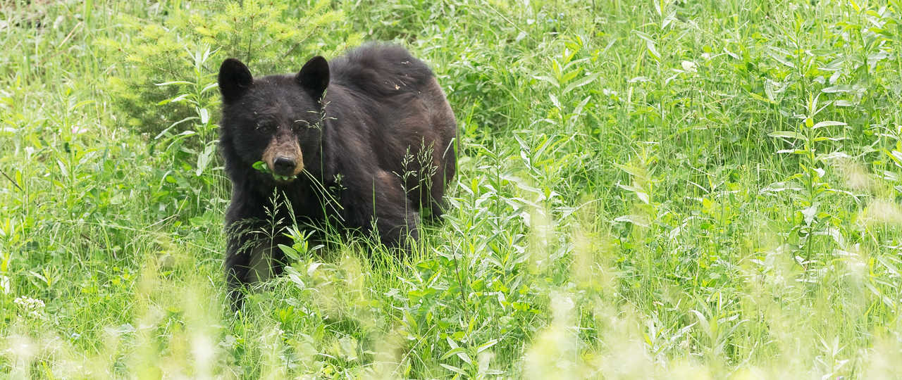 ours noir au Canada
