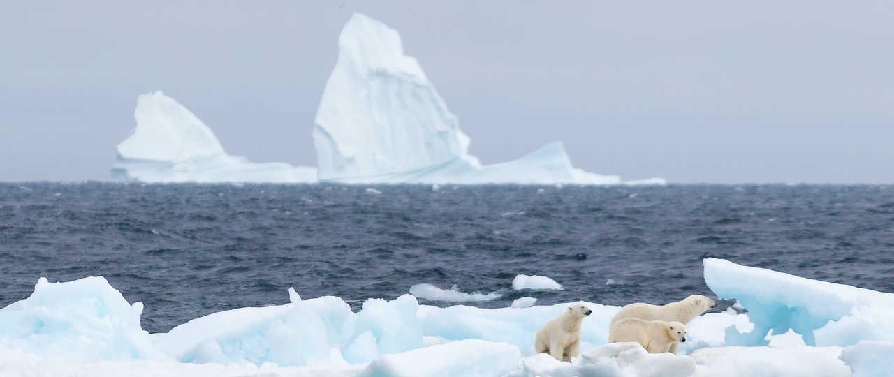 ours polaire lors d'une croisière au Spitzberg