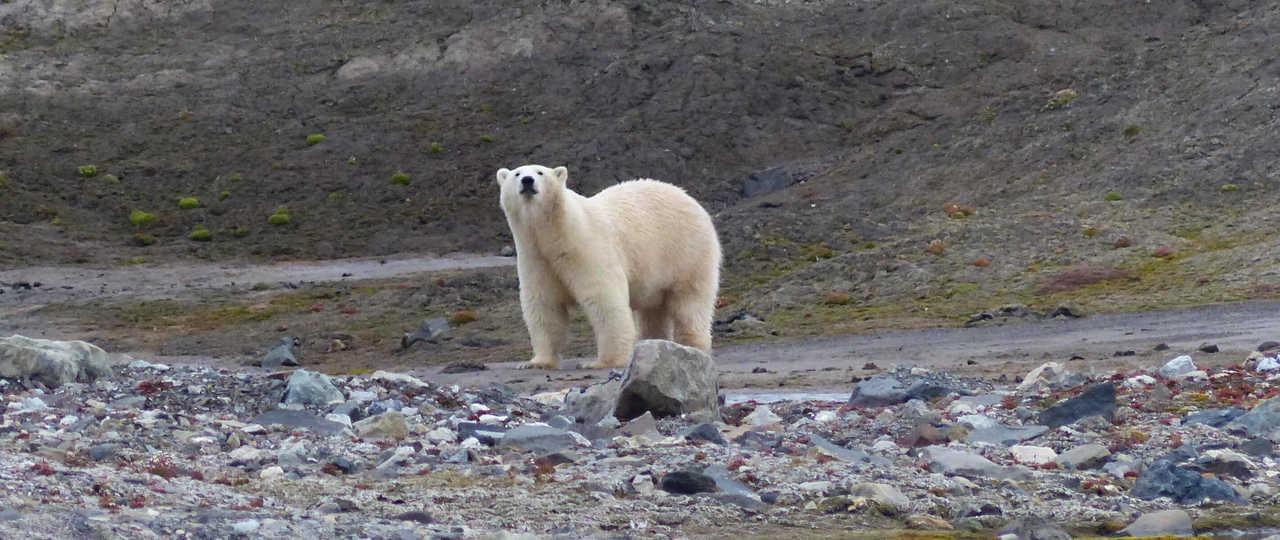 Ours polaire observé au Spitzberg en baie du roi