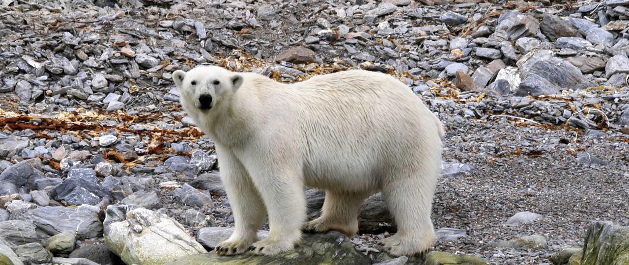 Ours polaire observé depuis le bateau Sillage au Spitzberg