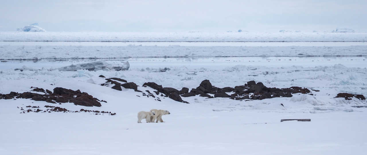 Ours polaires au Spitzberg