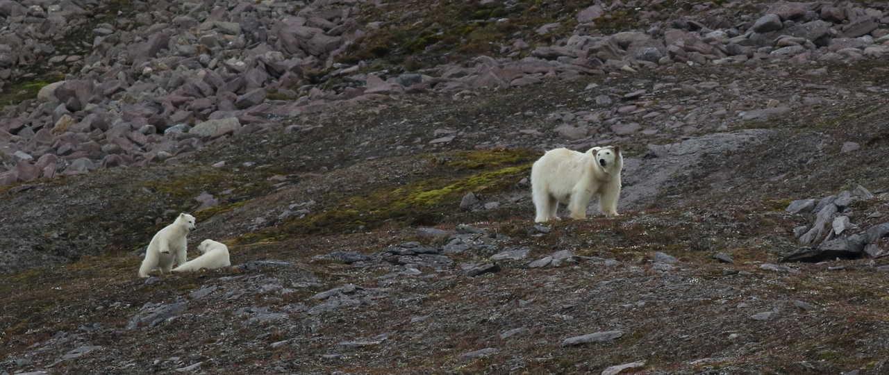Ours polaires et oursons au spitzberg