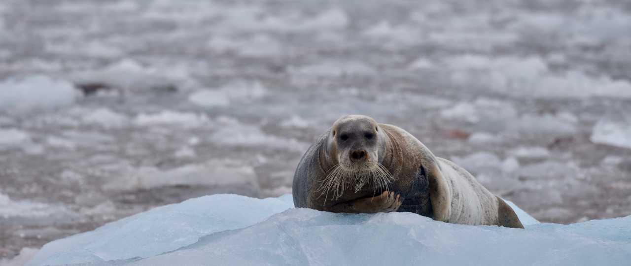 Phoque barbu au Svalbard