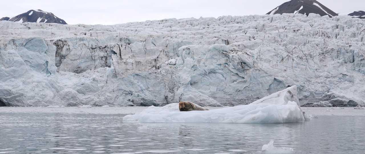 Phoque barbu devant glacier Spitzberg