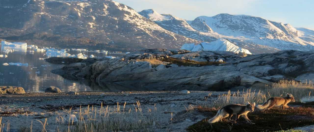 Renards polaires au Groenland