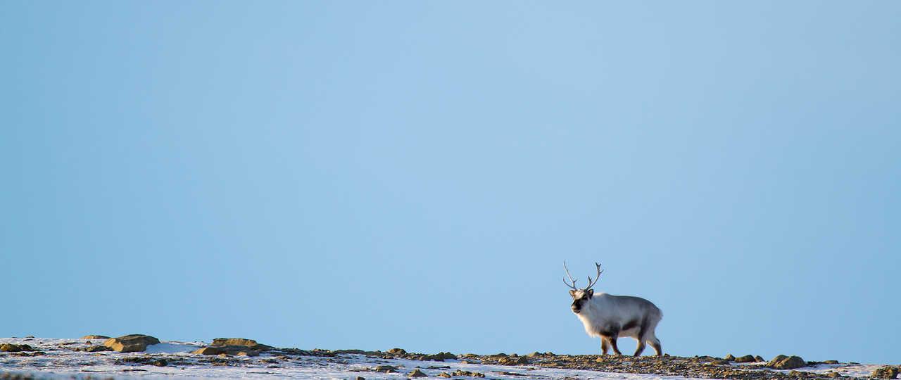 Renne sauvage en hiver en Arctique
