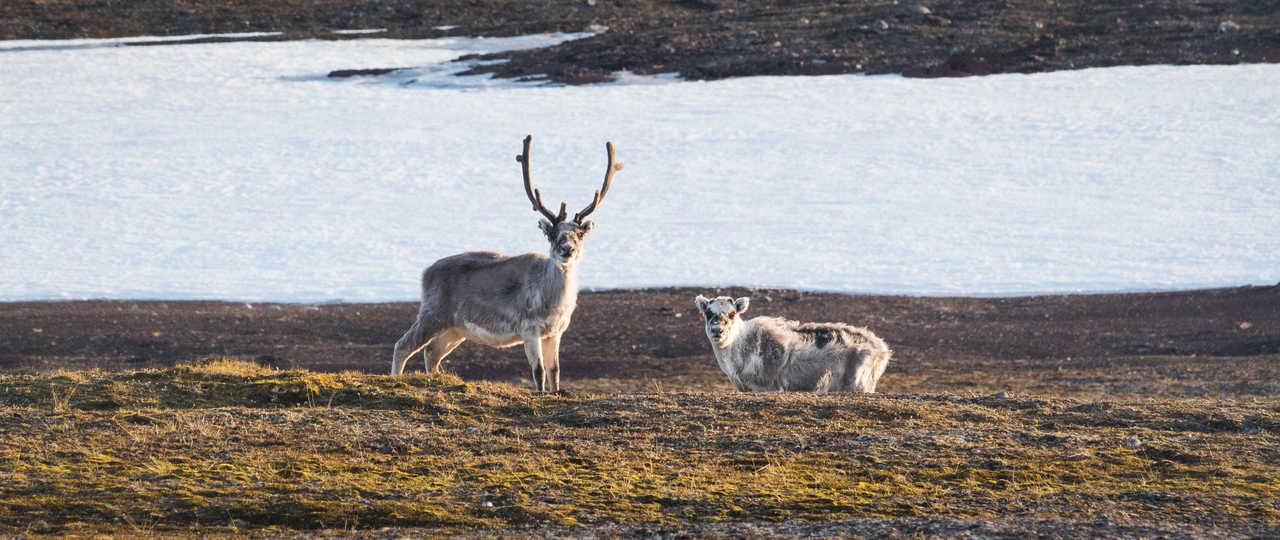 Rennes du Svalbard dans la toundra l'été