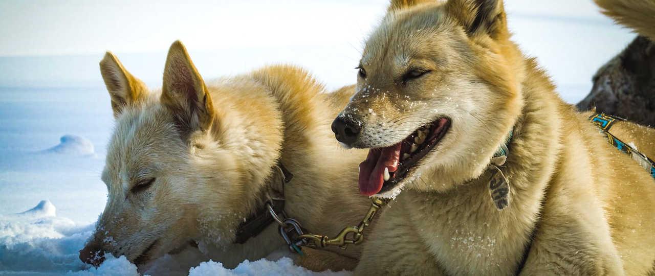 Saga et Asha, chiens de traineau en Laponie