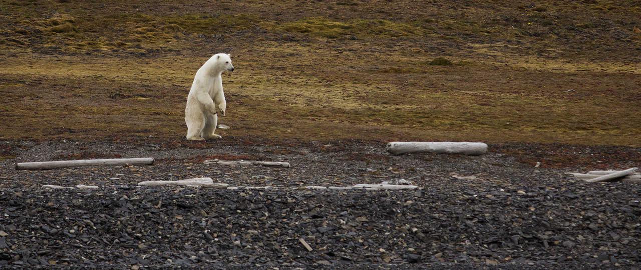 Photo d'un ours polaire lors d'une croisière au