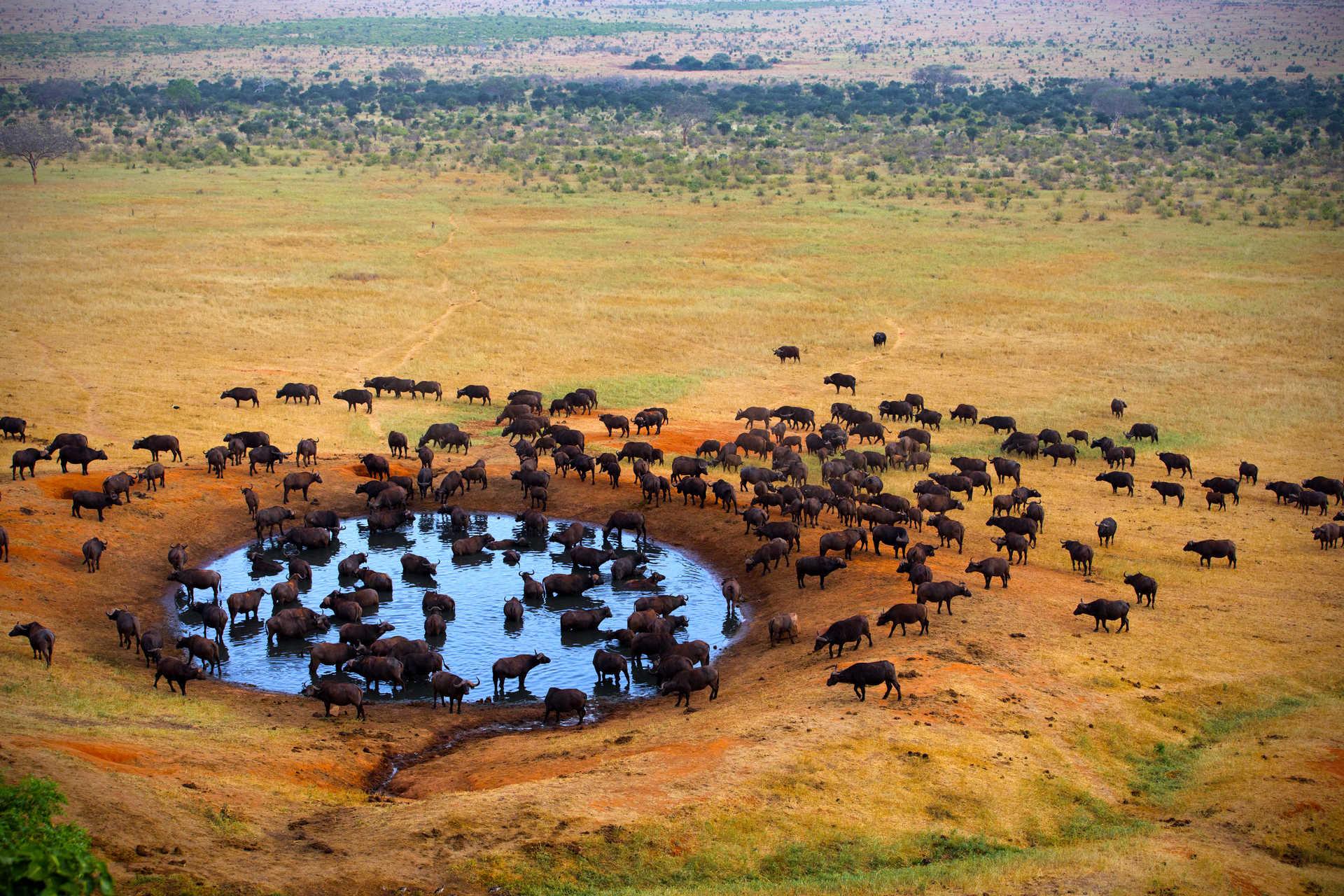 Buffalo dans le parc Kruger en Afrique du Sud