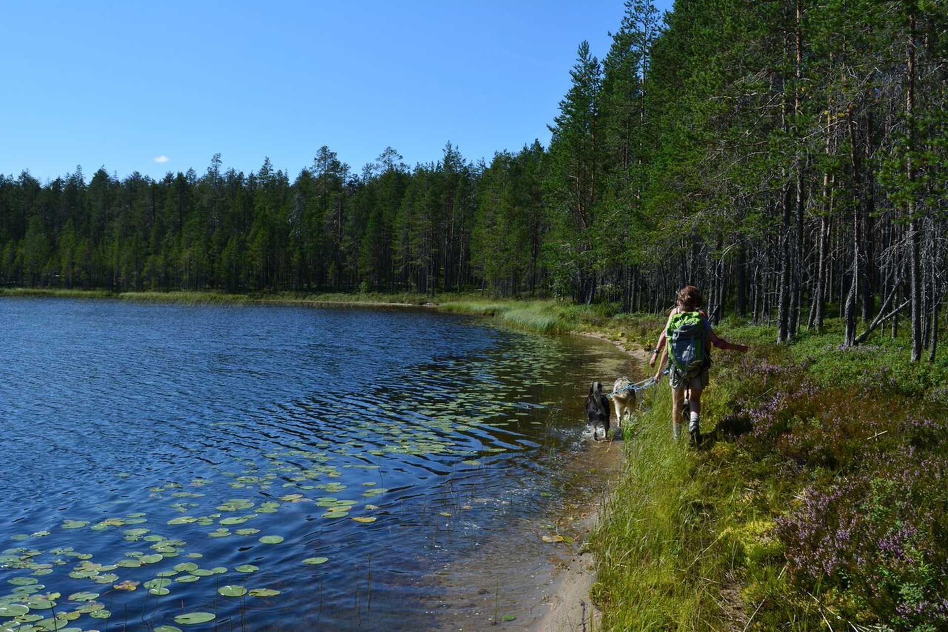 Cani-randonnée en Finlande