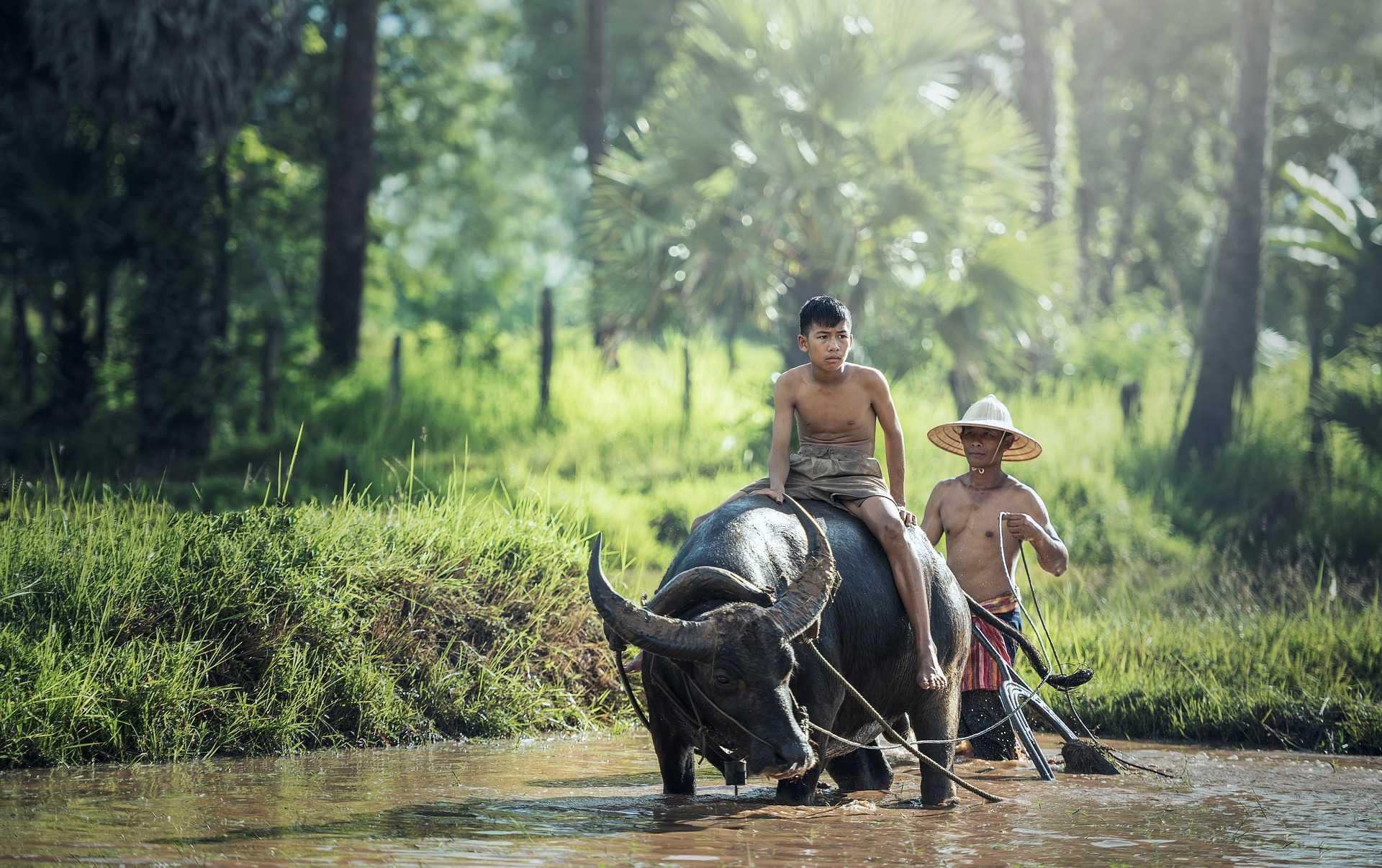 Culture des champs avec un buffalo
