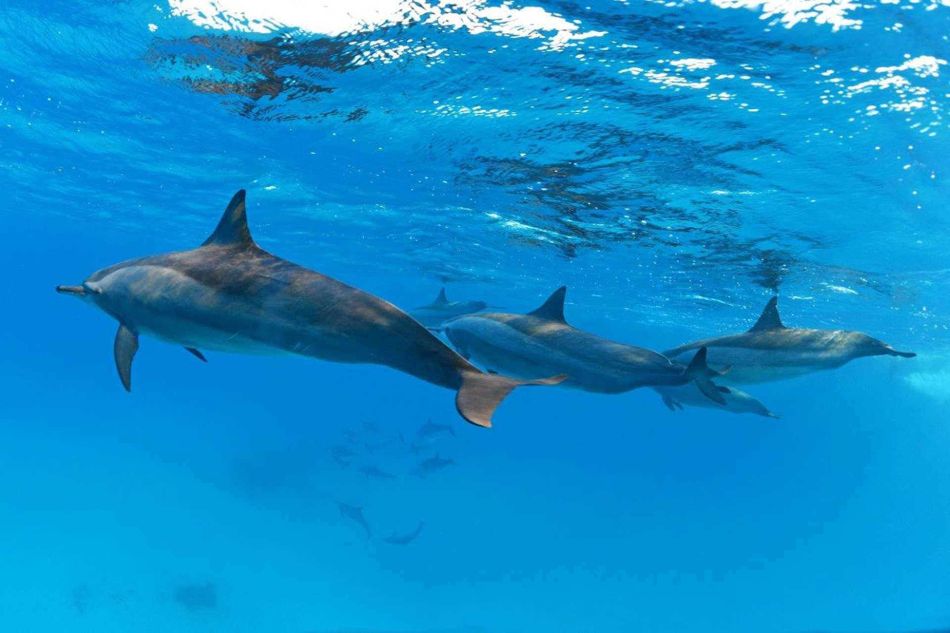 Dans le lagon de Sataya, les dauphins long bec vivent en famille