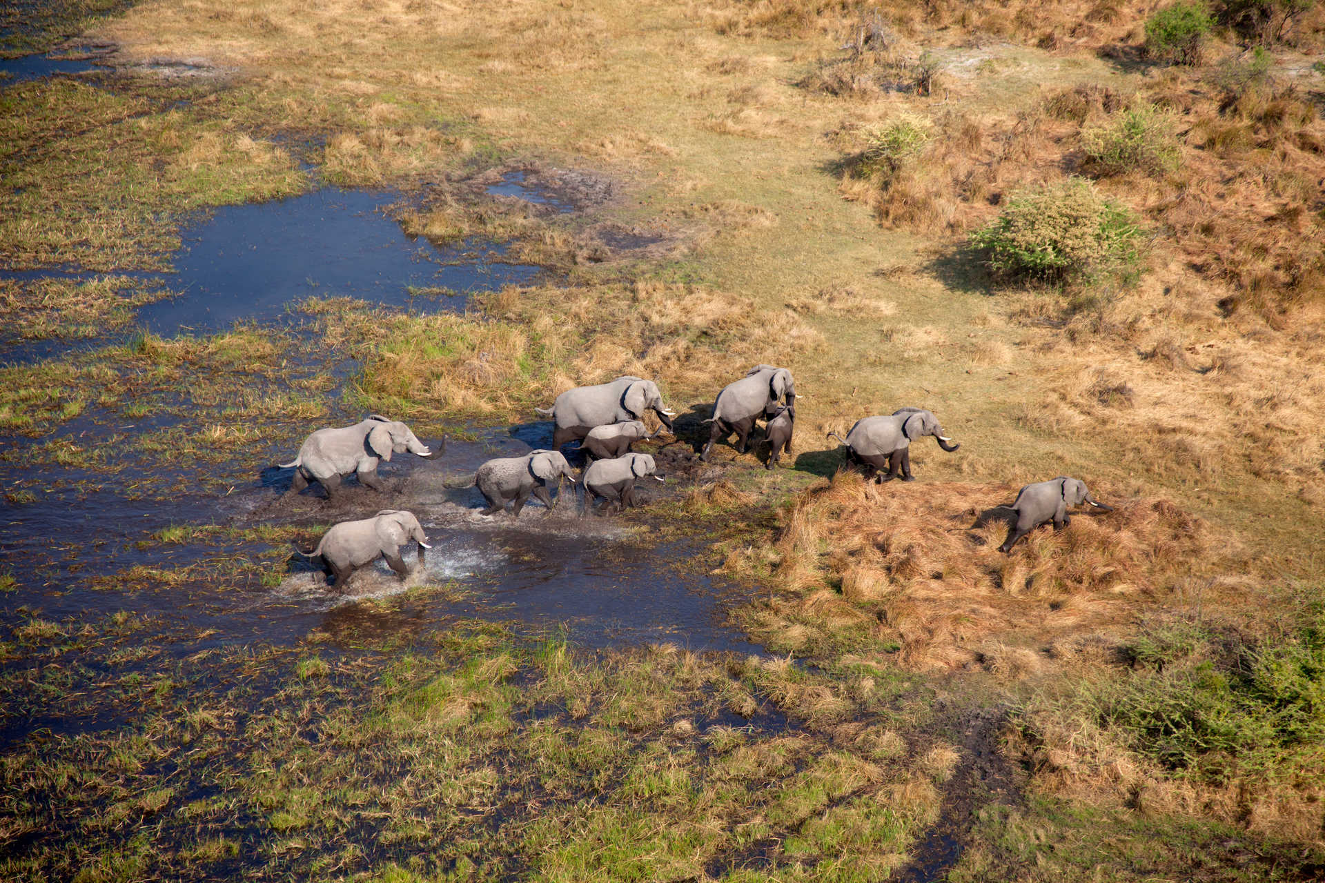 Éléphants au delta de l'Okavango vus du ciel