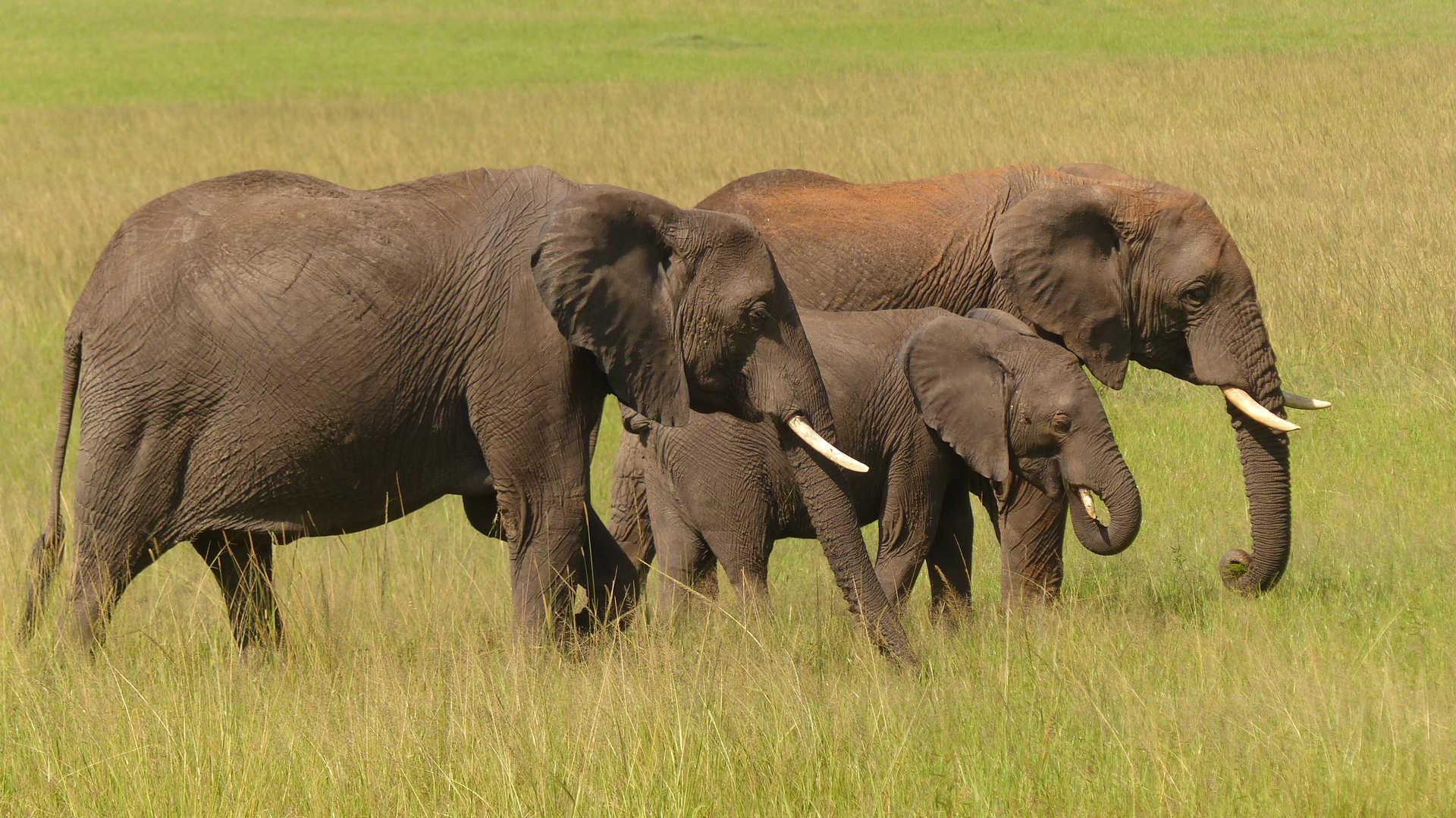Éléphants dans la réserve  du Masaï Mara