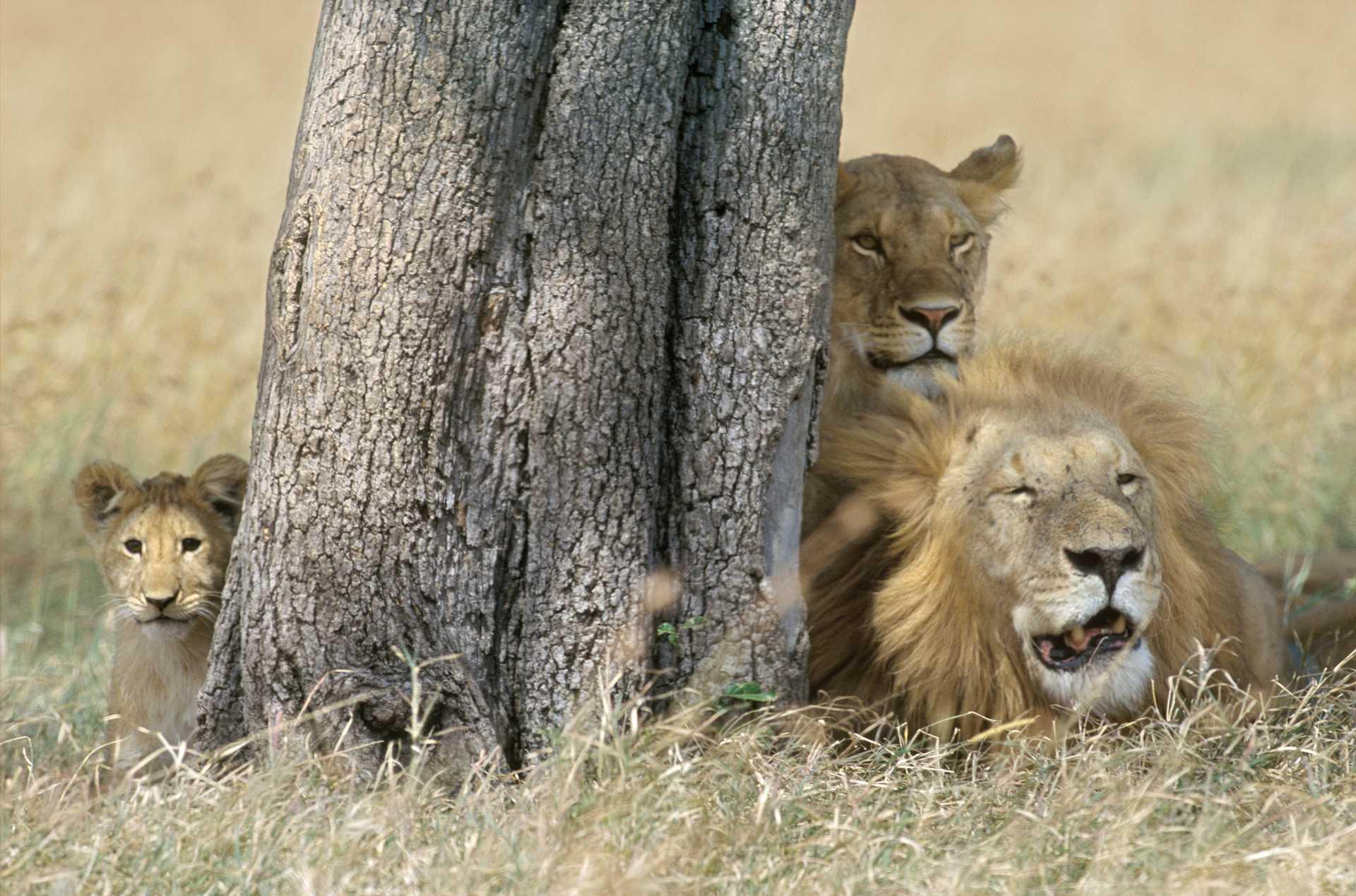 Famille de lions derrière un arbre
