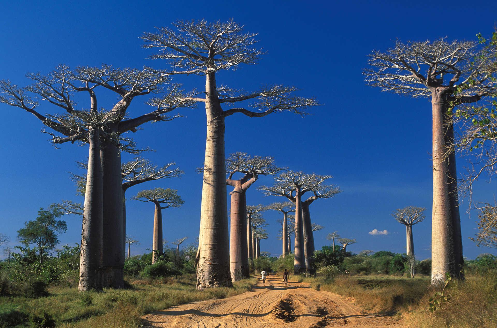 Forêt de baobabs à Madagascar