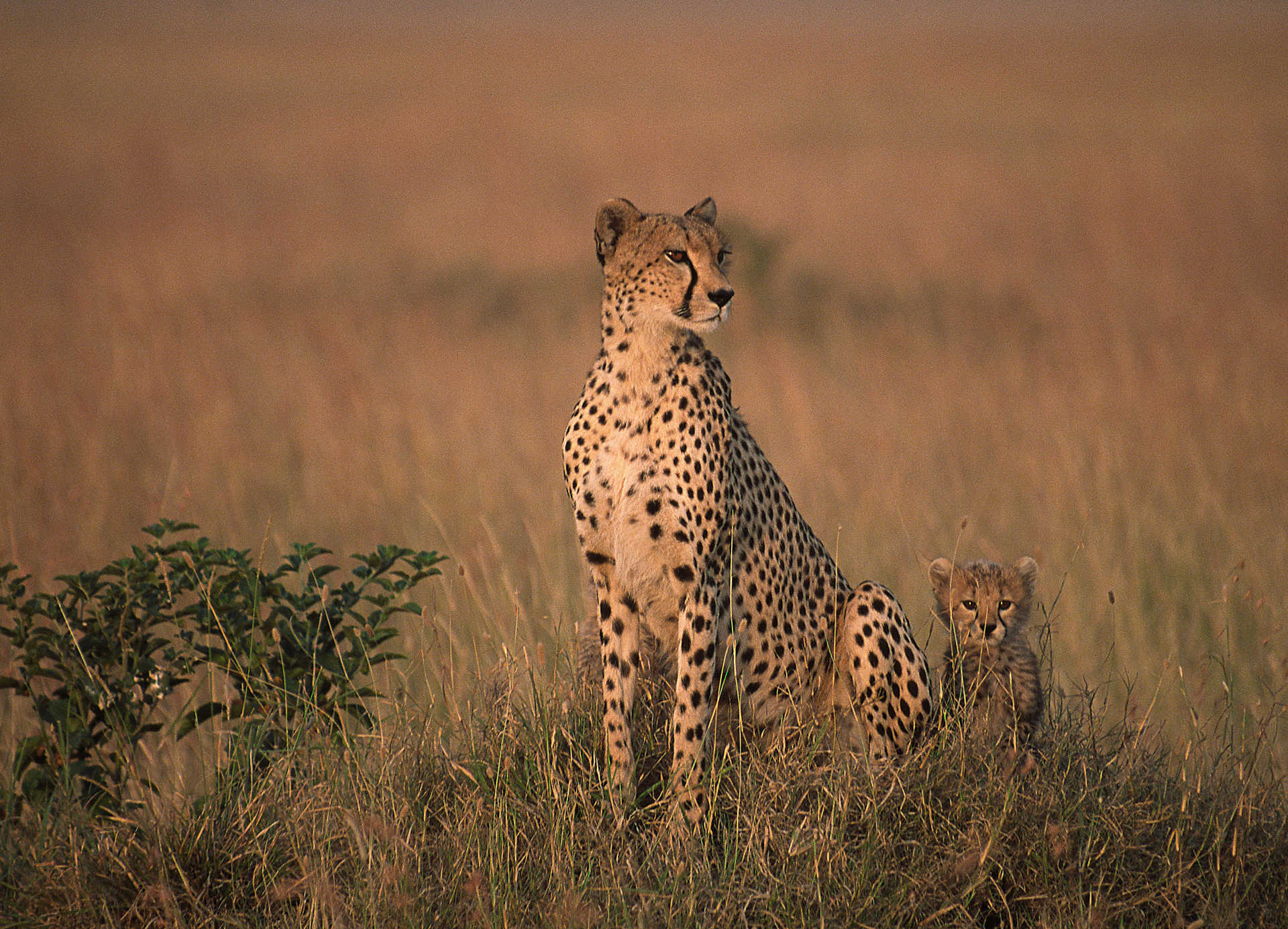 Tanzanie, parc du Serengeti, safari, guépards