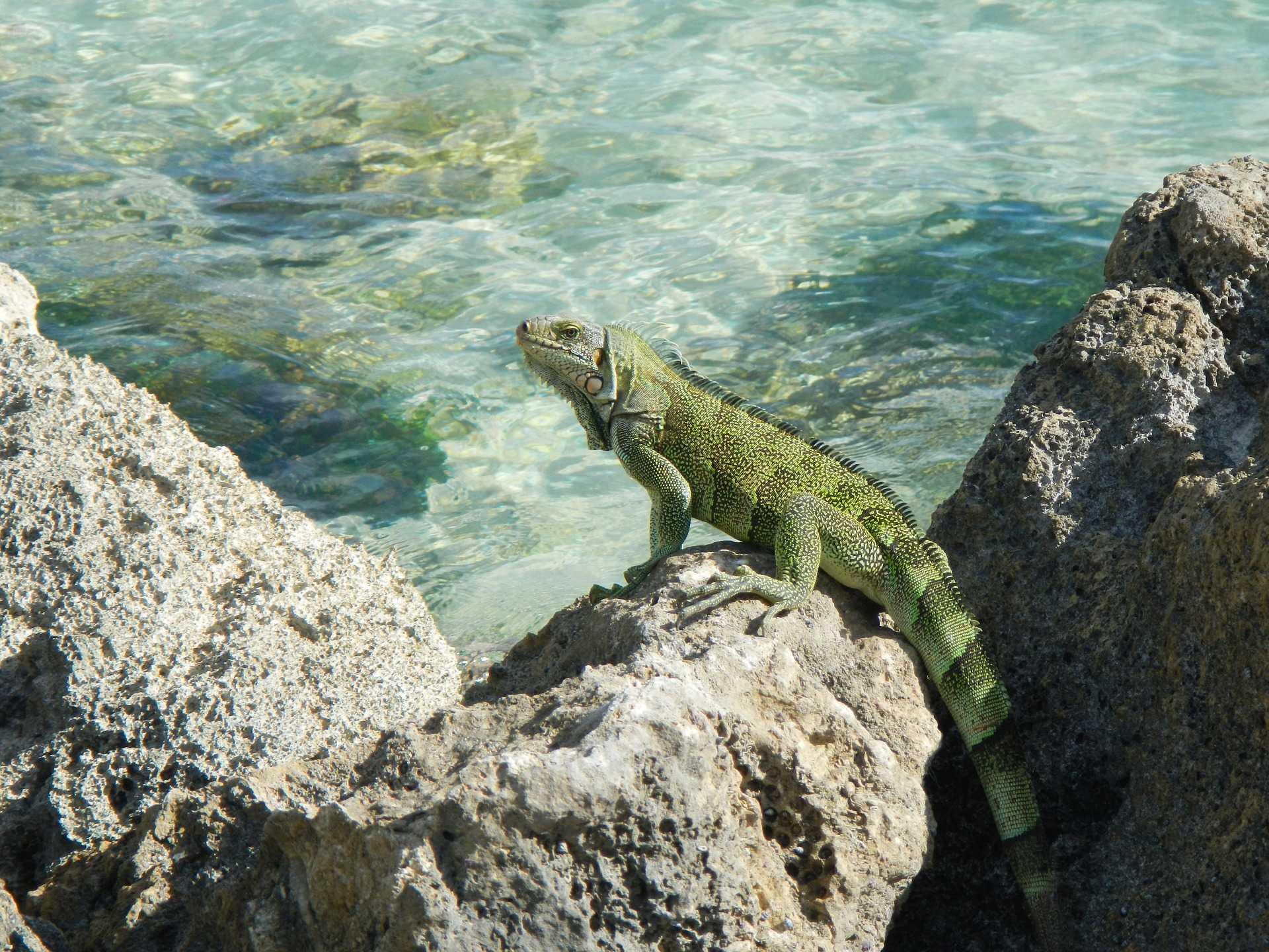 Iguane et eaux cristallines en Guadeloupe