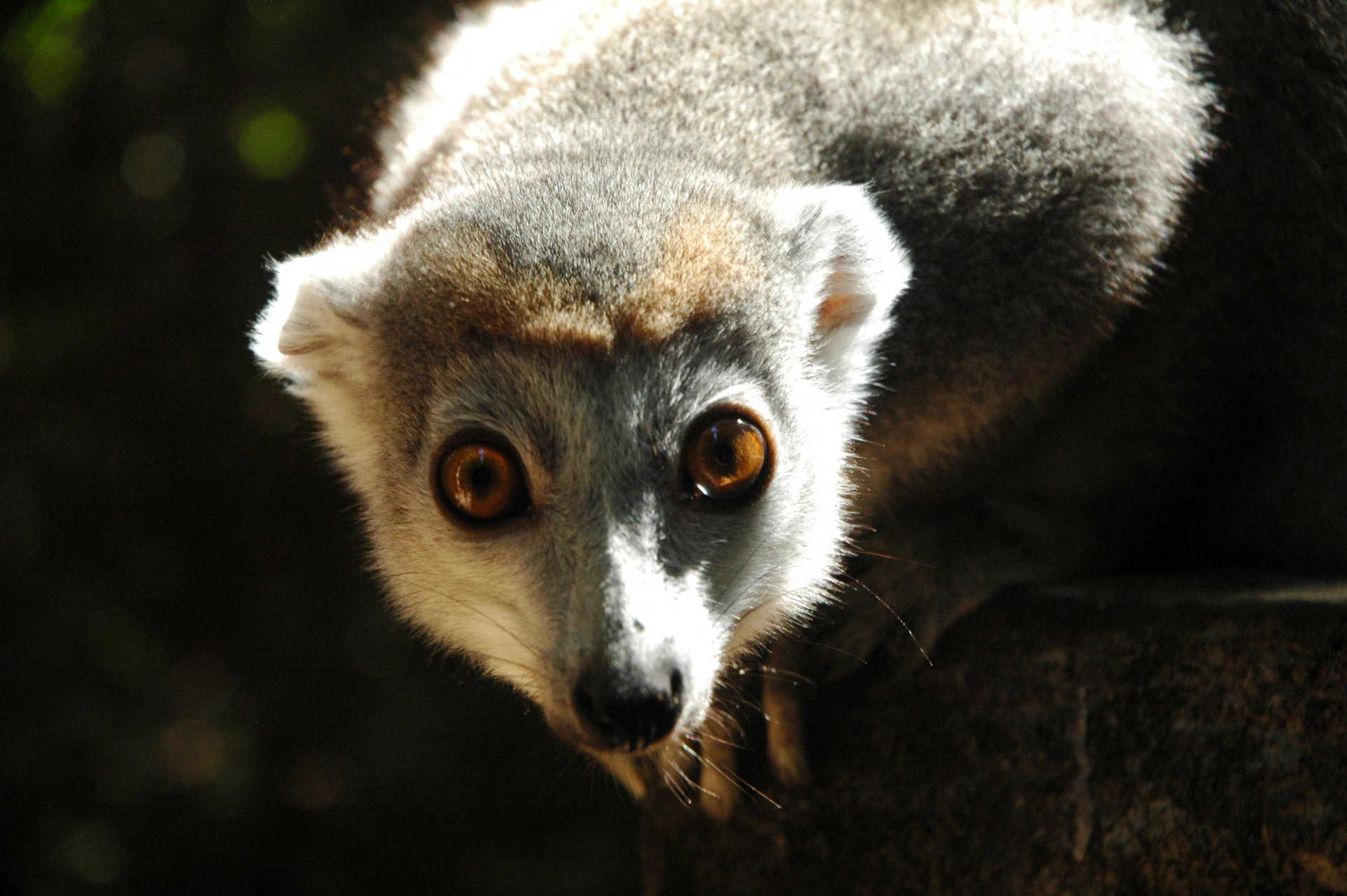 Lémurien au Nord de Madagascar
