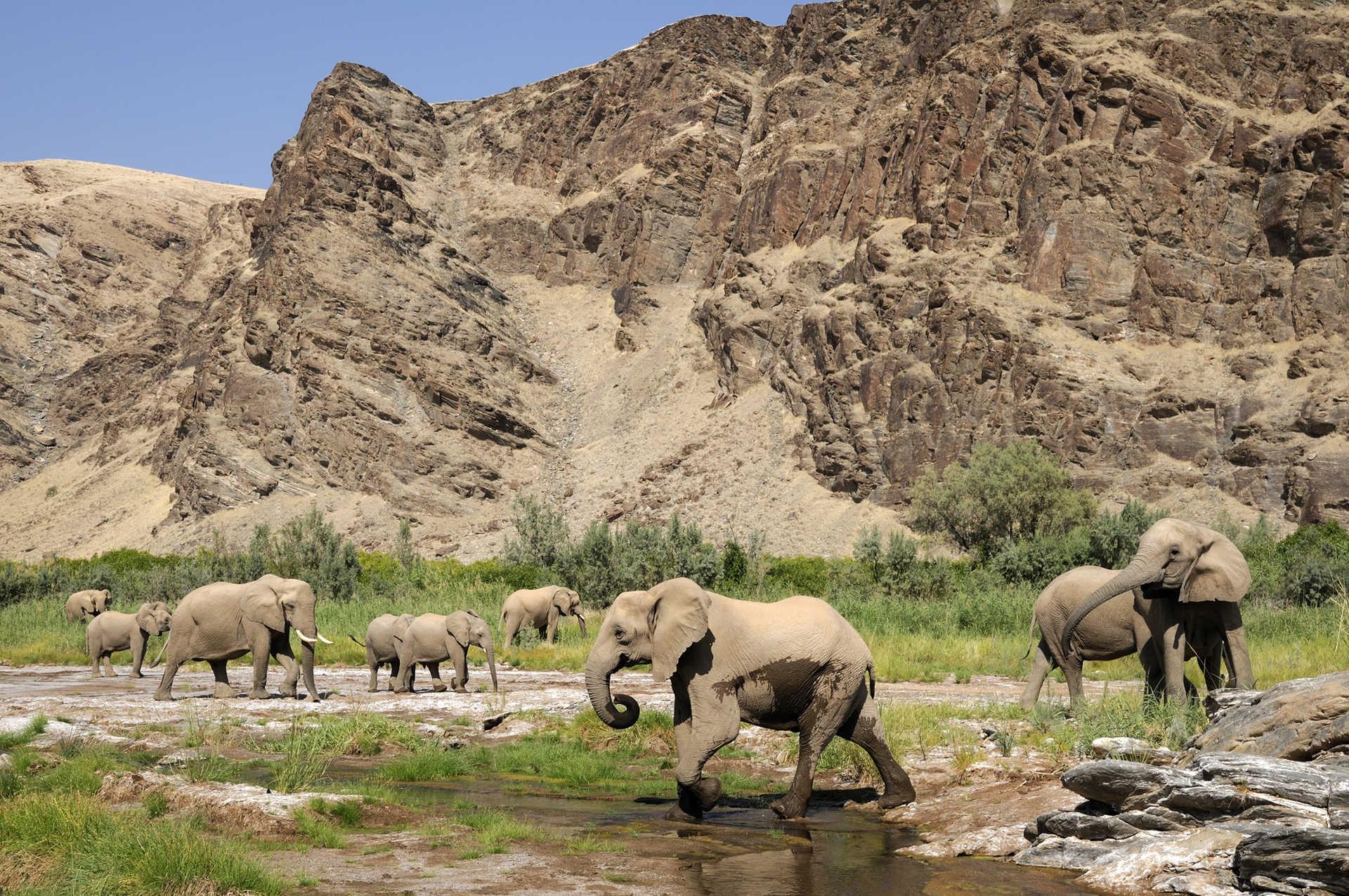 Les éléphants du désert traversant la rivière Hoanib dans la région du Kaokoland en Namibie