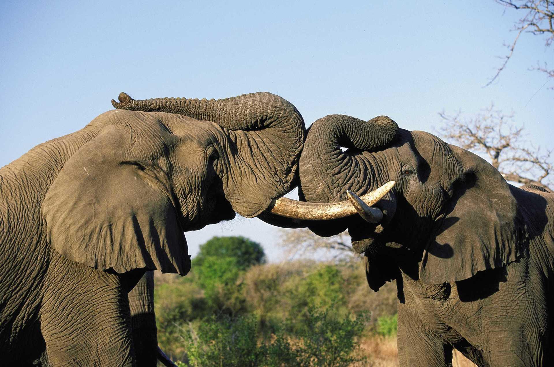 Majestueux éléphants en Afrique du Sud