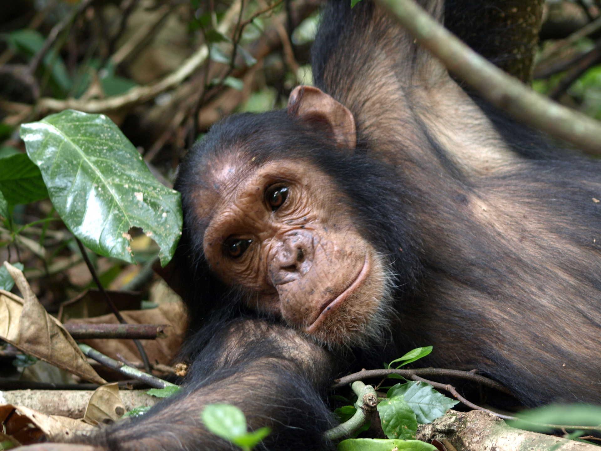 safari chimpanzés Kibale ouganda