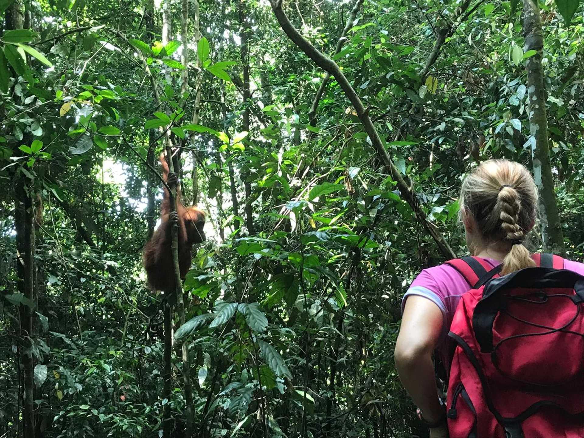 Voyageuse et orang-outan dans le parc de Gunung Leuser, Sumatra, Indonésie