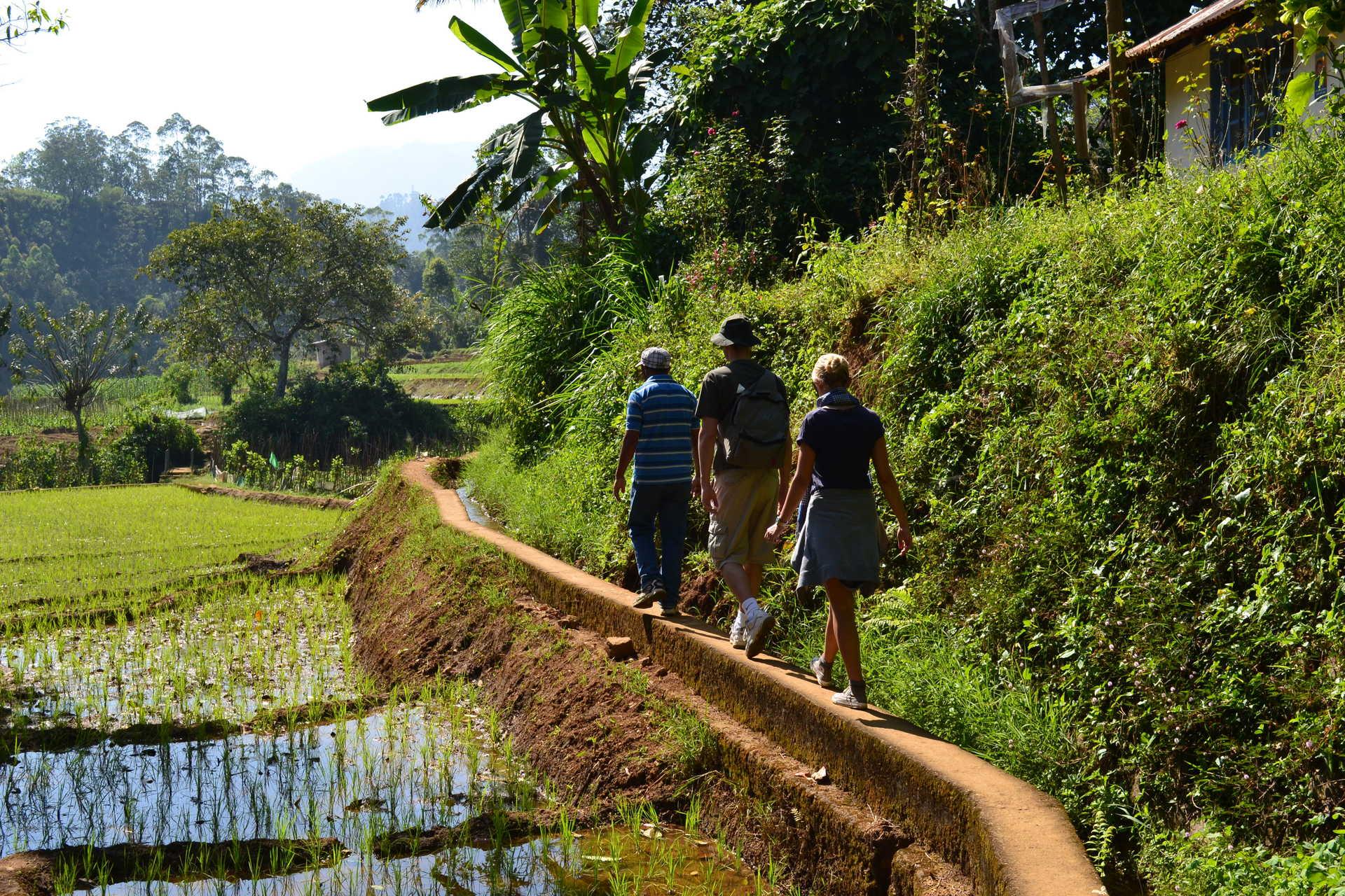 randonnée-dans-les-rizières-Sri-Lanka