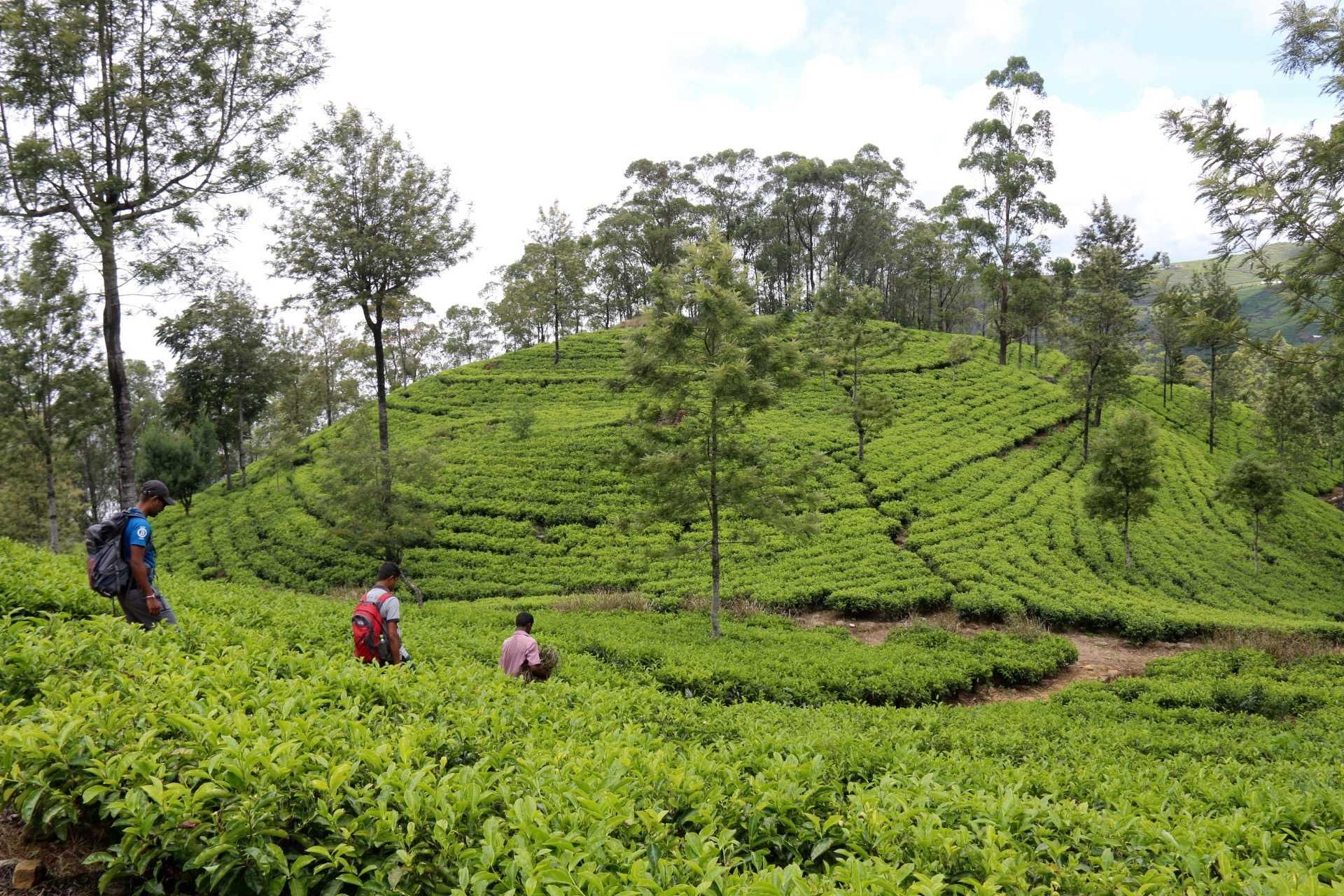 Randonneurs dans les plantations de thé au Sri Lanka